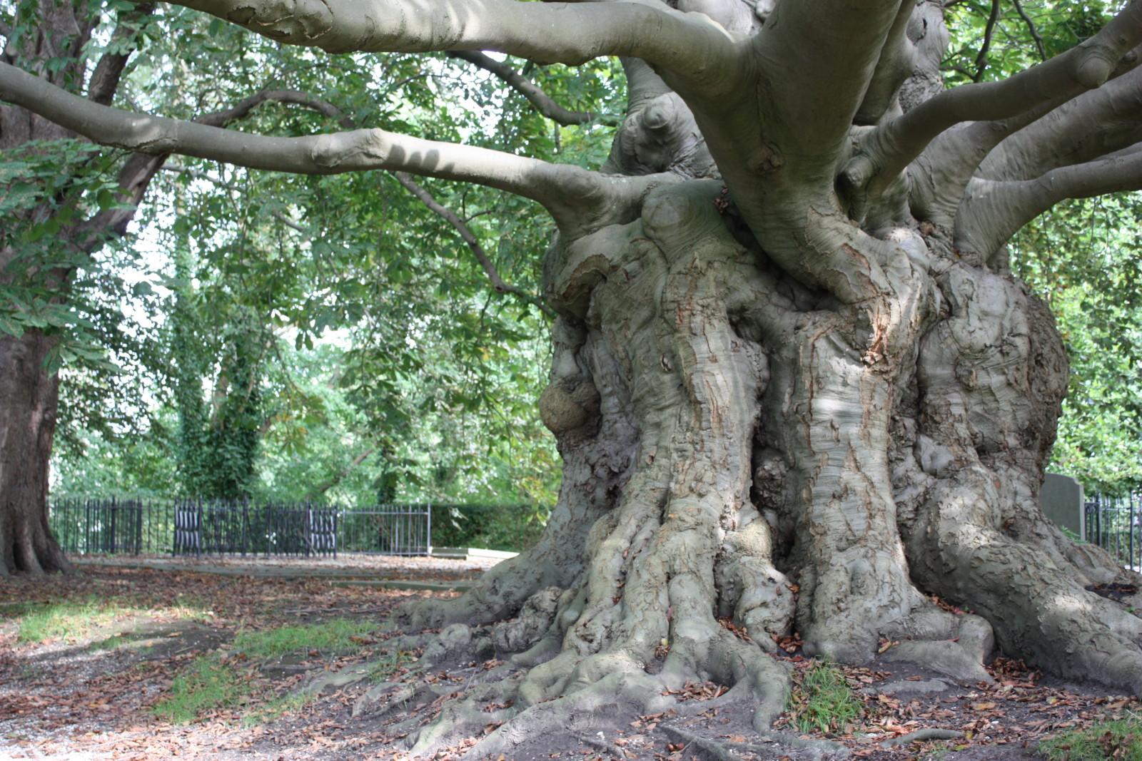 Grootste boom in Leiden
